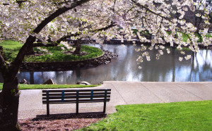 Cherry Tree and Park Bench - full
