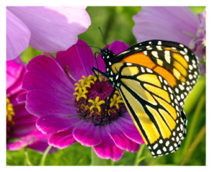 Purple Enews - butterfly on cosmos